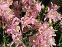 Солнечный свет dappling розовые цветки Columbine стоковая фотография