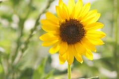 Солнечный солнцецвет Стоковые Фотографии RF
