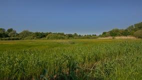 Солнечный сочный зеленый ландшафт болота с камышовыми деревьями во фламандской сельской местности стоковое фото
