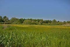 Солнечный сочный зеленый ландшафт болота с тростником и деревьями во фламандской сельской местности стоковые изображения