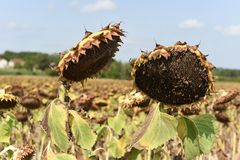 2 солнцецвета близко друг к другу в поле солнцецветов Стоковая Фотография RF