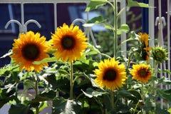 солнцецветы балкона Стоковое Фото
