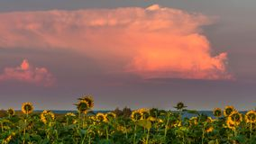 Солнцецветы восхищая заход солнца Стоковые Фото
