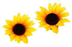 солнцецветы выреза Стоковые Изображения RF