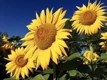 Солнцецветы в горах Altai стоковые изображения