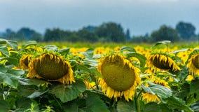 Солнцецветы в дожде Стоковые Фото