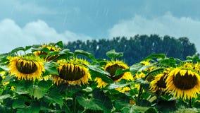 Солнцецветы в дождливом дне Стоковые Фотографии RF