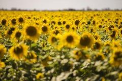 Солнцецветы в их великолепии стоковые фотографии rf