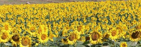 Солнцецветы в Марше стоковые фотографии rf