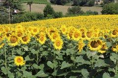 Солнцецветы в Марше стоковая фотография