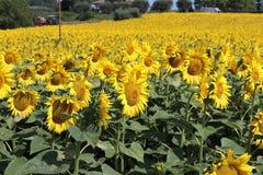 Солнцецветы в Марше стоковое изображение rf