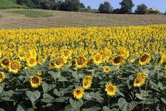 Солнцецветы в Марше стоковое фото rf