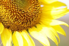 Солнцецветы в национальном парке, свежие органические предпосылки конца-вверх привлекательные цветения, Стоковая Фотография