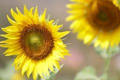 Солнцецветы в национальном парке, свежие органические предпосылки конца-вверх привлекательные цветения, Стоковые Изображения