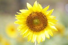 Солнцецветы в национальном парке, свежие органические предпосылки конца-вверх привлекательные цветения, Стоковые Фотографии RF