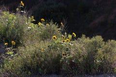 Солнцецветы в неплодородных почвах Стоковое фото RF