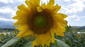 Солнцецветы в плотной пасмурной погоде под солнечным светом стоковое фото rf