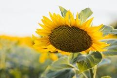 Солнцецветы в поле на солнечный день Стоковые Фотографии RF