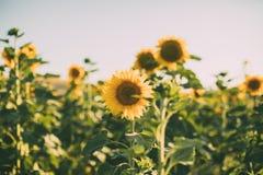 Солнцецветы в предпосылке цветеня естественной Закройте вверх солнцецвета в солнечном свете стоковые фото