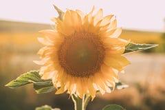 Солнцецветы в предпосылке цветеня естественной Закройте вверх солнцецвета в солнечном свете стоковые фотографии rf