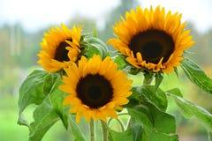 Солнцецветы в солнечном окне стоковые фотографии rf