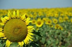 Солнцецветы в украинском поле стоковое фото