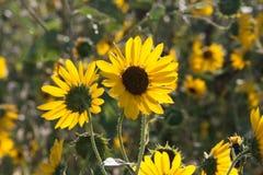 Солнцецветы в утре Солнце Стоковая Фотография RF