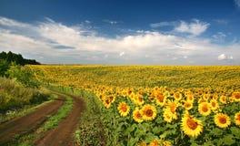 солнцецветы голубого неба Стоковая Фотография RF