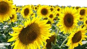 Солнцецветы готовя камеру акции видеоматериалы
