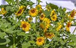 Солнцецветы греясь в солнце стоковое фото