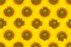 Солнцецветы делают по образцу для предпосылки Стоковые Фотографии RF