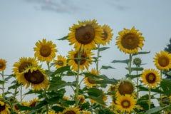 Солнцецветы достигая для неба стоковая фотография
