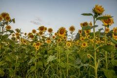 Солнцецветы достигая для неба стоковые изображения