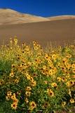 солнцецветы дюн вертикальные Стоковые Изображения RF