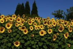 Солнцецветы засаженные совместно Стоковое Изображение