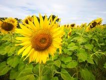 Солнцецветы зацветают на деревьях стоковая фотография rf