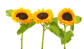 Солнцецветы изолированные на белой предпосылке стоковые фото