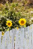 Солнцецветы ища для солнца Стоковые Фото