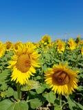 Солнцецветы и ветротурбины под голубым небом Стоковые Фото