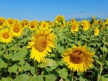 Солнцецветы и ветротурбины под голубым небом Стоковые Фотографии RF