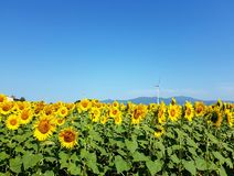 Солнцецветы и ветротурбины под голубым небом Стоковая Фотография