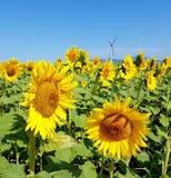 Солнцецветы и ветротурбины под голубым небом Стоковая Фотография RF