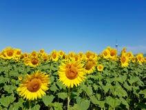 Солнцецветы и ветротурбины под голубым небом Стоковое Изображение