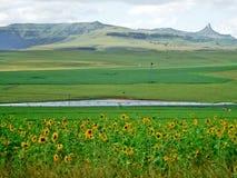 Солнцецветы и горы стоковое фото