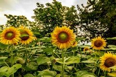 Солнцецветы и красивые поля солнцецвета от Болгарии стоковые фотографии rf