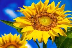 Солнцецветы и красивые поля солнцецвета от Болгарии стоковые изображения rf