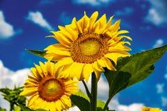 Солнцецветы и красивые поля солнцецвета от Болгарии стоковое изображение rf
