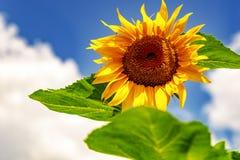 Солнцецветы и красивые поля солнцецвета от Болгарии стоковые фото