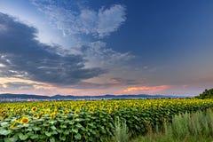 Солнцецветы и красивые поля солнцецвета от Болгарии стоковая фотография