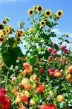 Солнцецветы и цветки, клобук держателя, Орегон стоковое фото